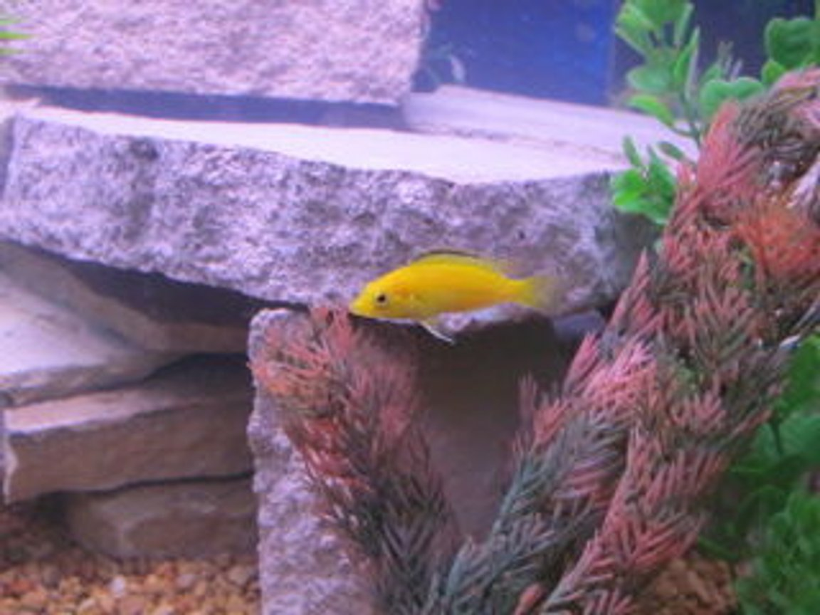 freshwater fish - labidochromis caeruleus - electric yellow cichlid stocking in 29 gallons tank - yellow lab cichlid