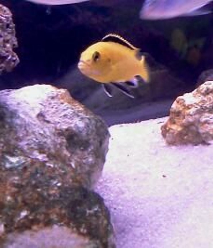 freshwater fish - labidochromis caeruleus - electric yellow cichlid stocking in 40 gallons tank - Male lab