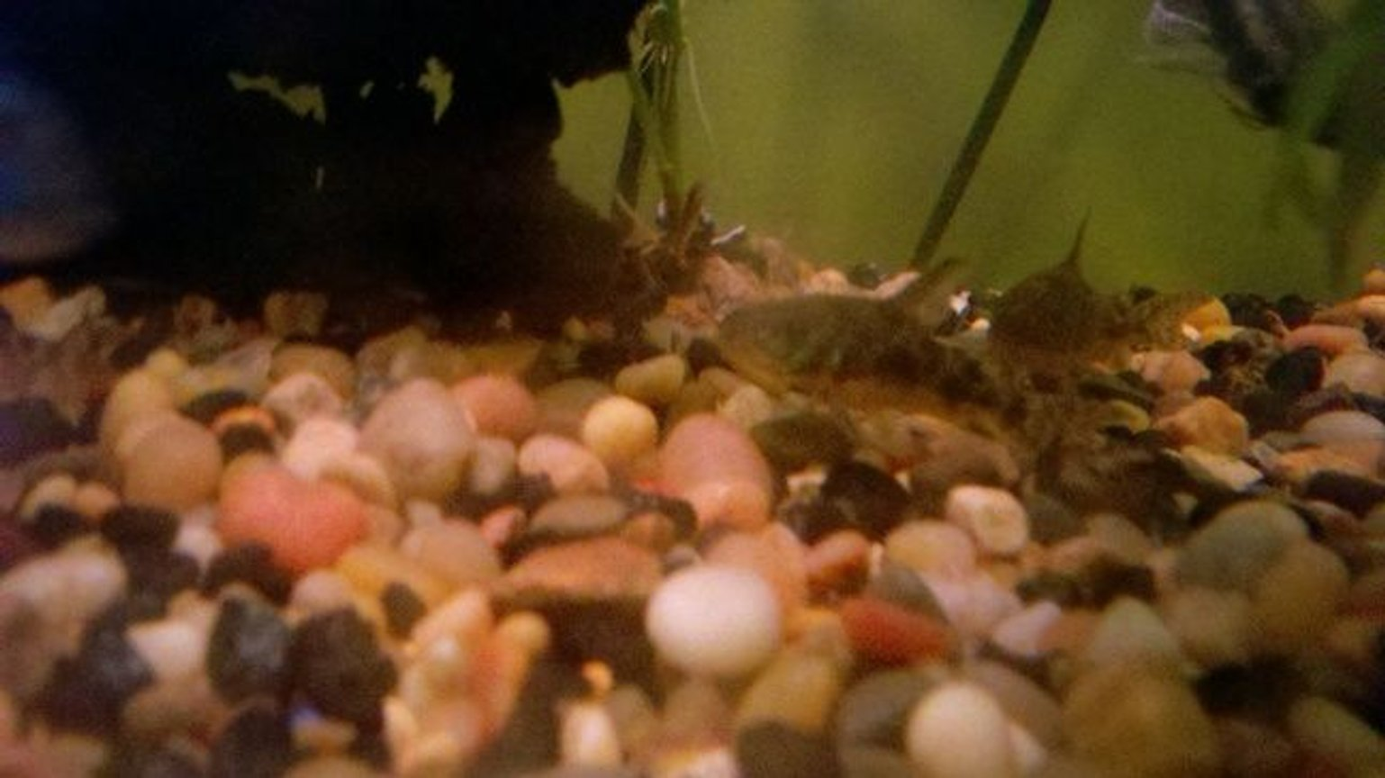 freshwater fish - corydoras paleatus - peppered cory cat stocking in 39 gallons tank - Peppered Cory Cat II & III