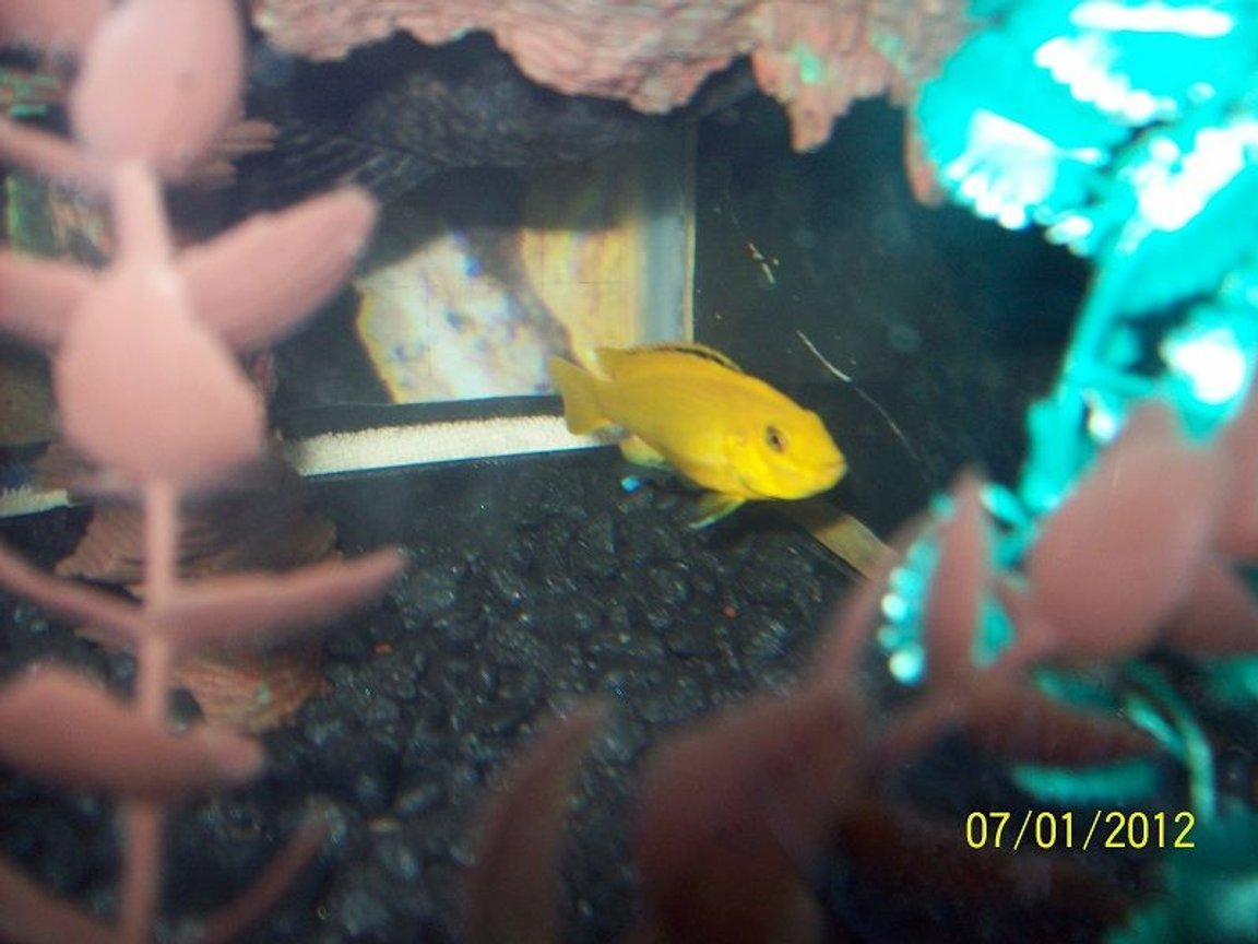 freshwater fish - labidochromis caeruleus - electric yellow cichlid stocking in 55 gallons tank - Electric Yellow