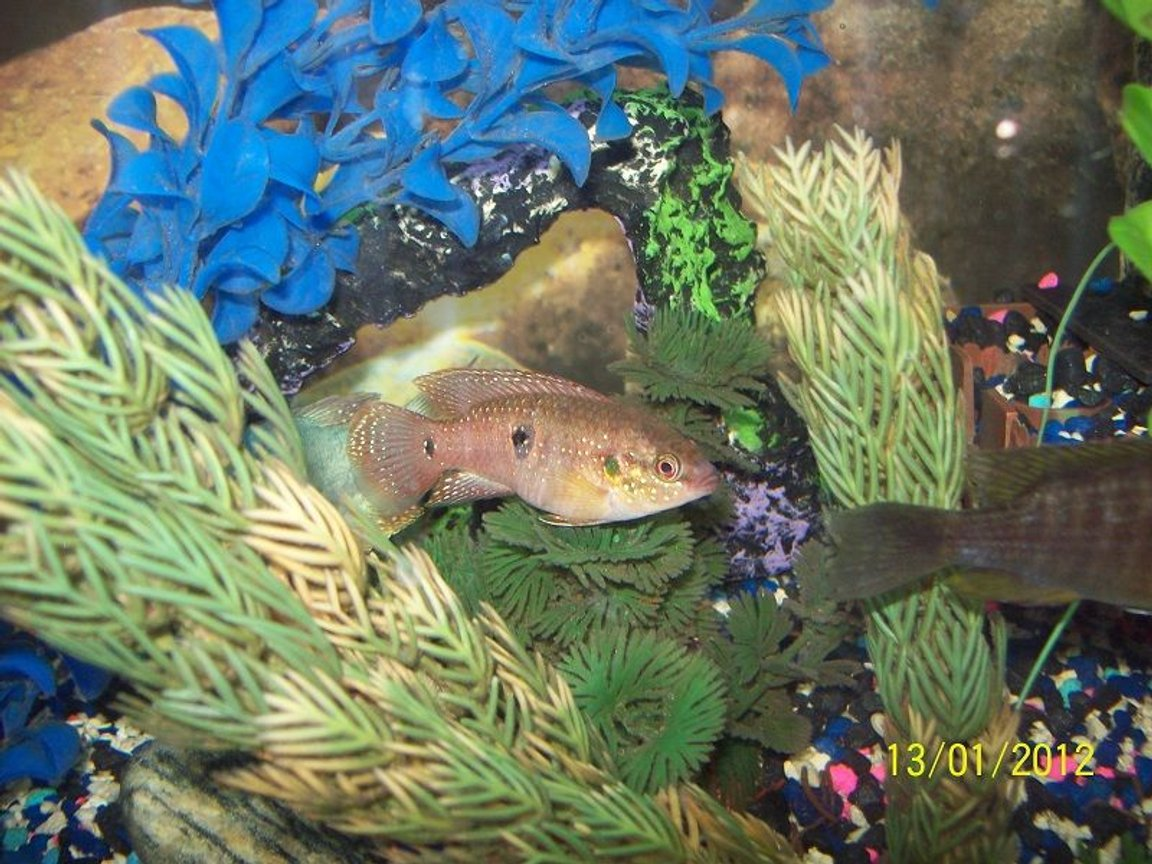 freshwater fish - hemichromis bimaculatus - jewel cichlid stocking in 55 gallons tank - Red Jewel Cichlid