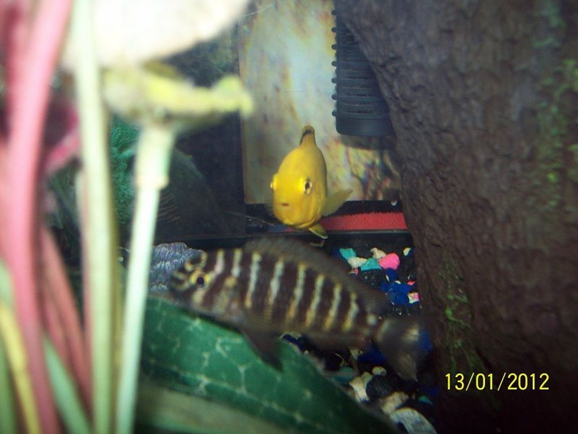 freshwater fish - labidochromis caeruleus - electric yellow cichlid stocking in 55 gallons tank - Banded Morri with electric Yellow