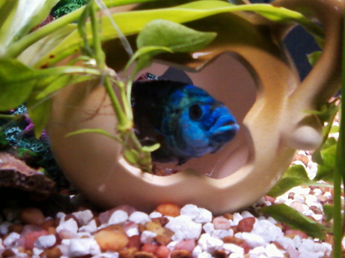 freshwater fish - nandopsis octofasciatum - electric blue jack dempsey stocking in 55 gallons tank - bluey in the vase