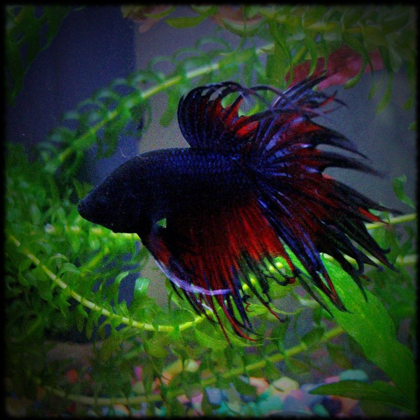 freshwater fish - betta splendens - crown tail betta stocking in 3 gallons tank - my crowntail betta