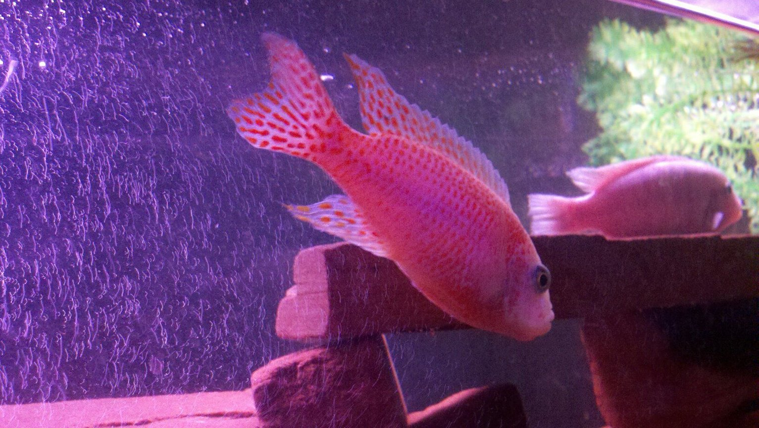 freshwater fish - aulonocara sp. - strawberry peacock cichlid stocking in 100 gallons tank - my strawberry peacock her hame is pinkie,