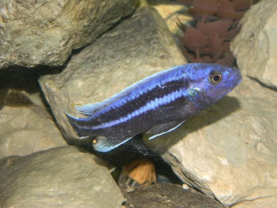 freshwater fish - melanochromis cyaneorhabdos - maingano cichlid stocking in 55 gallons tank - Black and Purple Sacramento Kings Mascot!
