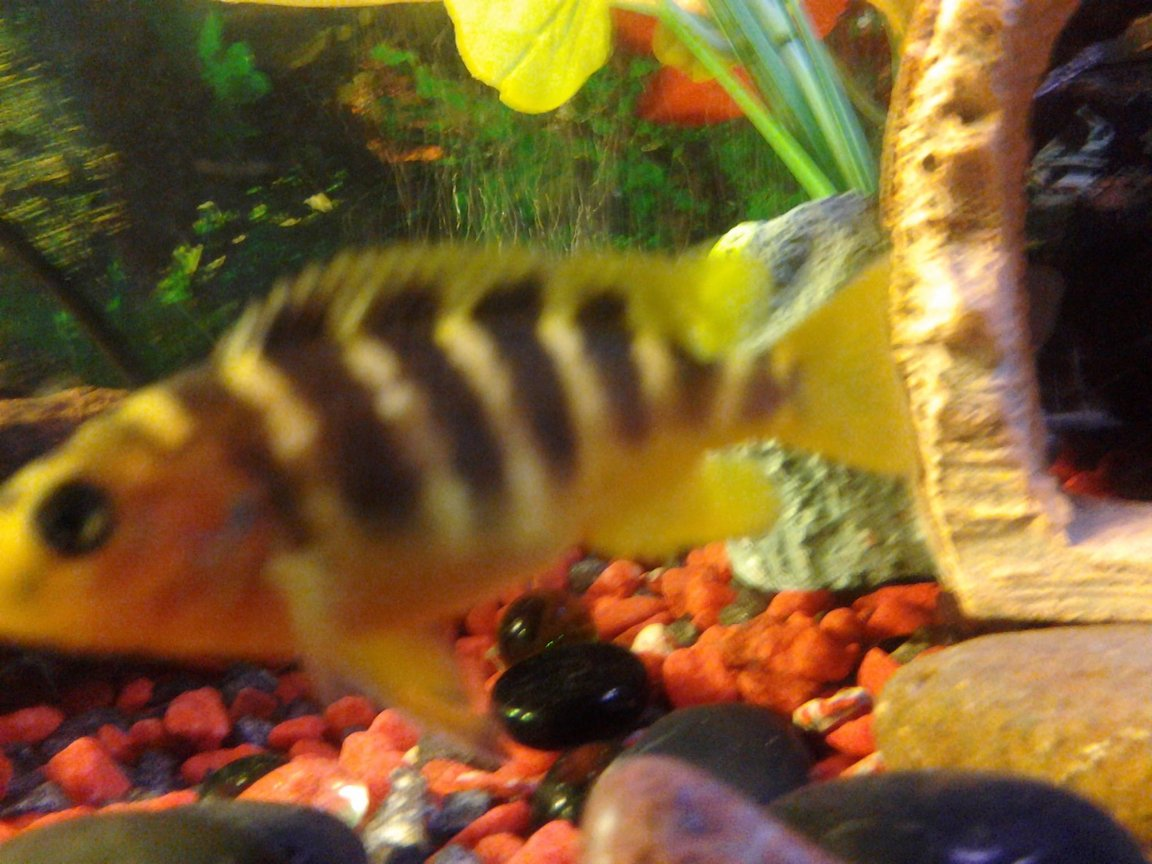"freshwater fish - pseudotropheus crabro - bumblebee cichlid stocking in 70 gallons tank - Bumble bee cichlid ""bumble bee"""