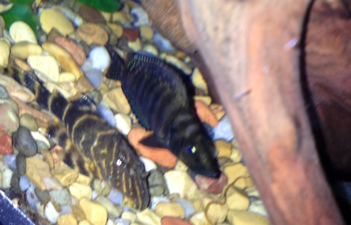 freshwater fish - altolamprologus calvus - calvus cichlid stocking in 75 gallons tank - Clown pleco and black calvus