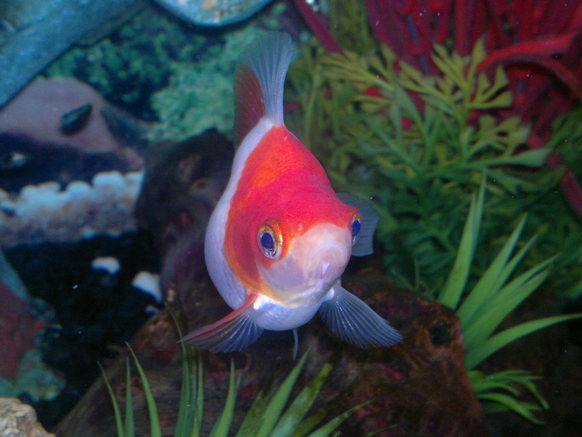 freshwater fish - carassius auratus - goldfish stocking in 15 gallons tank