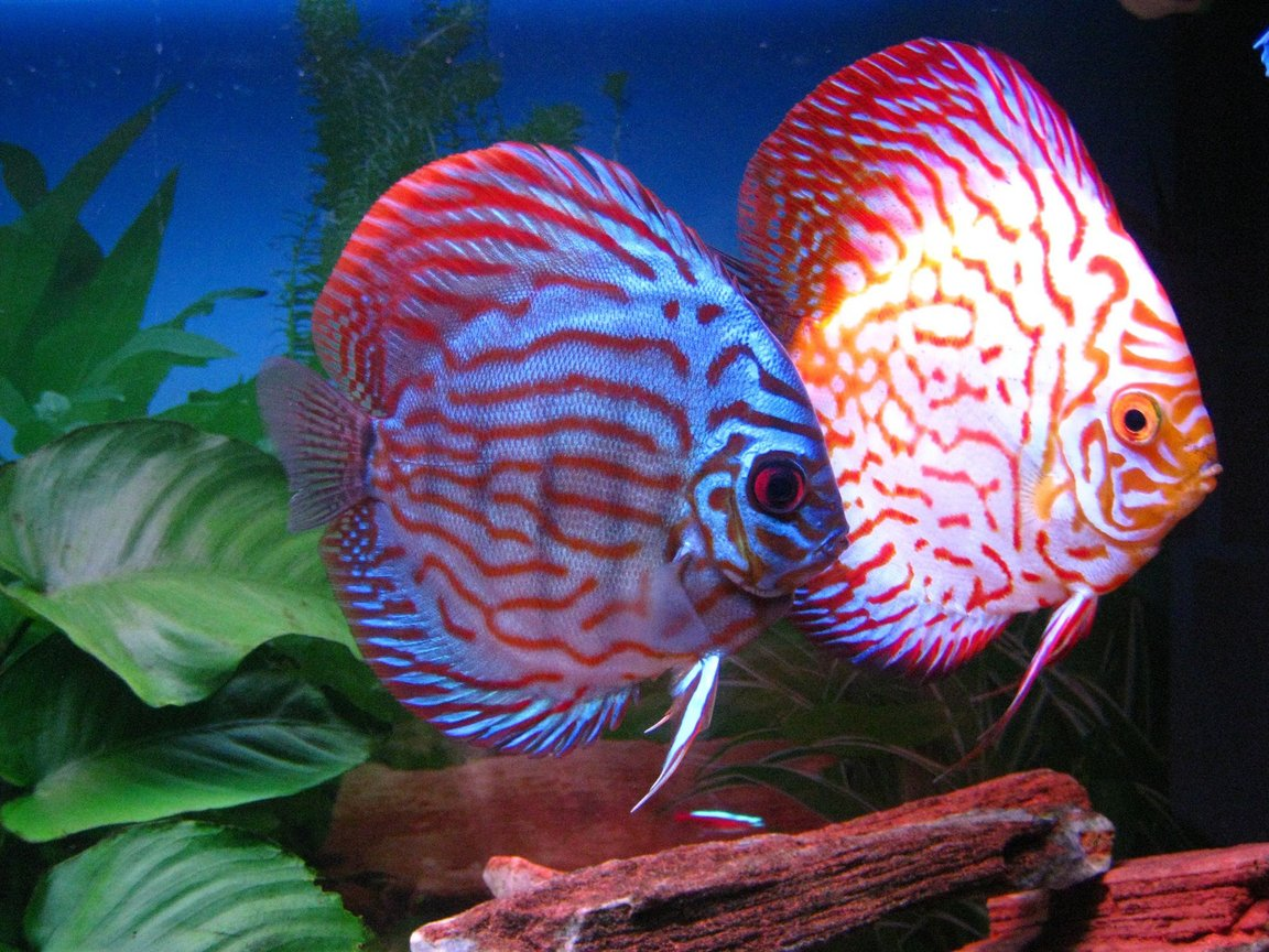 freshwater fish - symphysodon sp. - snakeskin discus stocking in 60 gallons tank - My Discus
