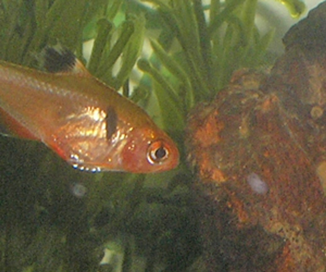 freshwater fish - hyphessobrycon callistus - red minor serpae tetra stocking in 12 gallons tank - one of my tetras