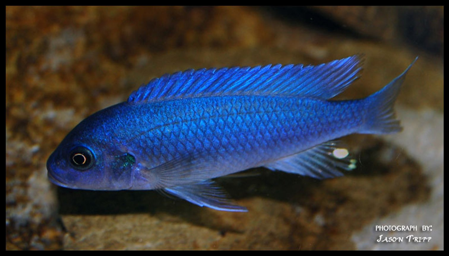 freshwater fish - pseudotropheus estherae - red zebra cichlid stocking in 47 gallons tank - Red Zebra African Cichlid