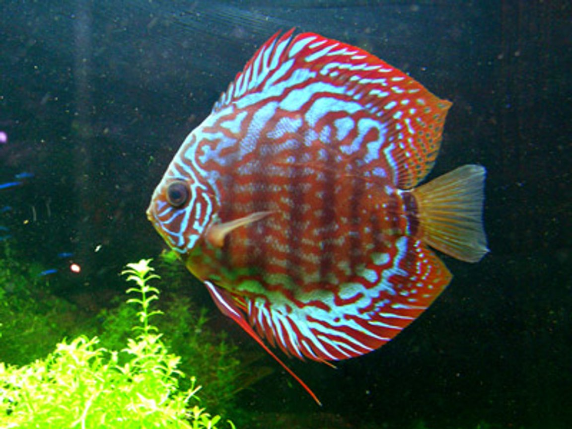 "freshwater fish - symphysodon spp. - red turquoise discus stocking in 46 gallons tank - ""Big Bertha"" - Red Spotted Green Discus - 3.5"""