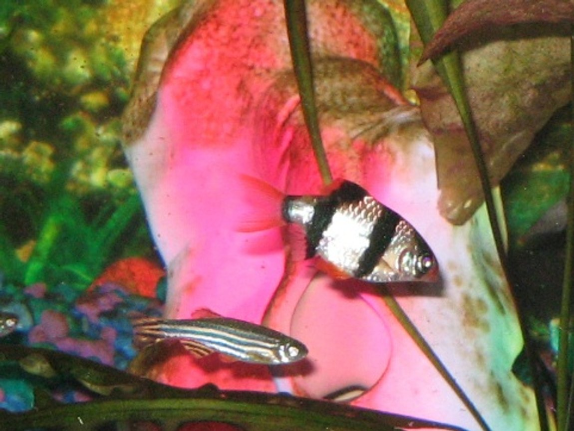 freshwater fish - puntius tetrazona - tiger barb stocking in 55 gallons tank - Tiger Barb and Zebra Dan