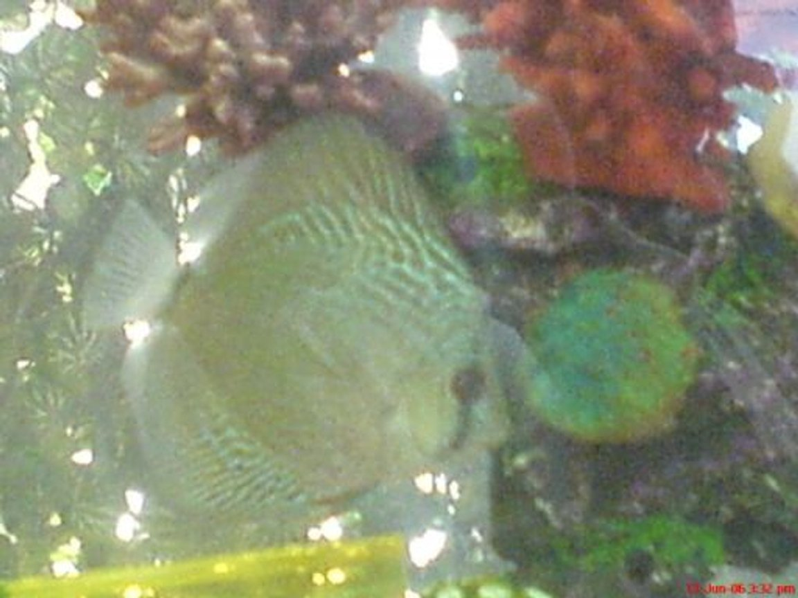 freshwater fish - symphysodon aequifasciata sp. - discus stocking in 100 gallons tank - My Discus