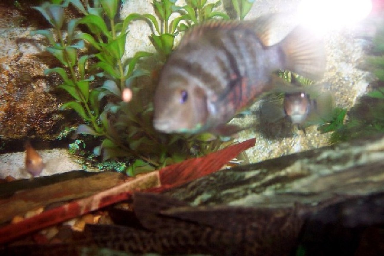 freshwater fish - archocentrus nigrofasciatus - black convict cichlid stocking in 25 gallons tank - male convict