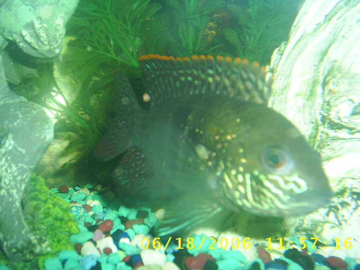 freshwater fish - aequidens rivulatus - green terror stocking in 60 gallons tank - my other green terror