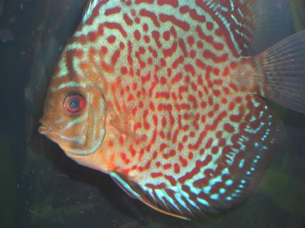 freshwater fish - symphysodon spp. - snakeskin discus stocking in 55 gallons tank - My Lepard Skin Discus
