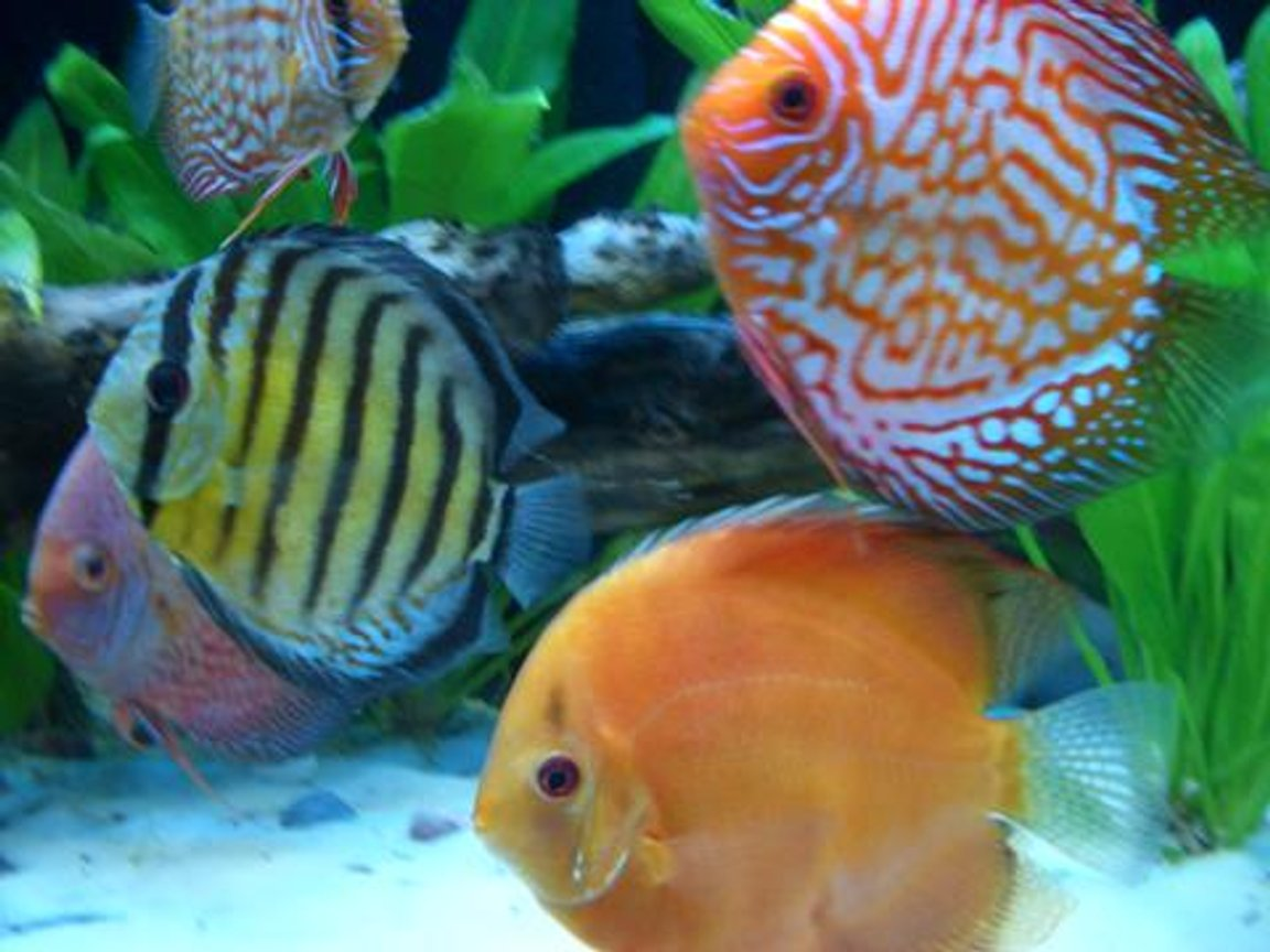 freshwater fish - symphysodon aequifasciata sp. - discus stocking in 55 gallons tank - Assorted Discus