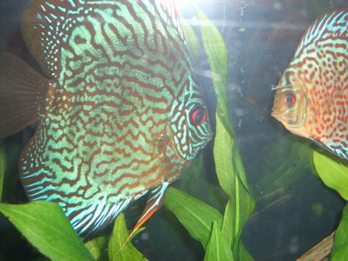 freshwater fish - symphysodon spp. - red turquoise discus stocking in 55 gallons tank - Discus Pictures