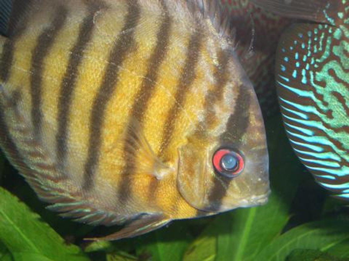 freshwater fish - symphysodon aequifaciatus axelrodi - brown discus stocking in 55 gallons tank - Wild Brown Discus