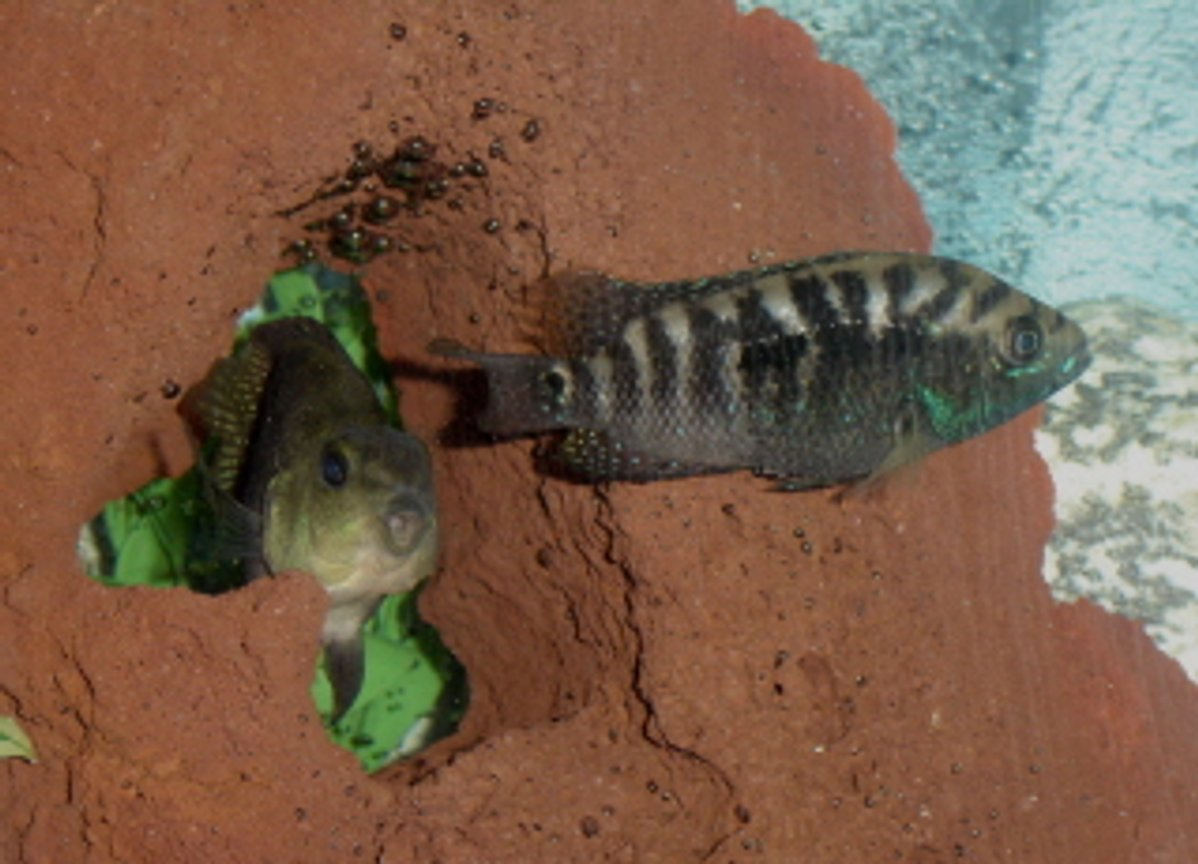 freshwater fish - nandopsis octofasciatum - jack dempsey stocking in 55 gallons tank - Dempsy and Parrot hanging out