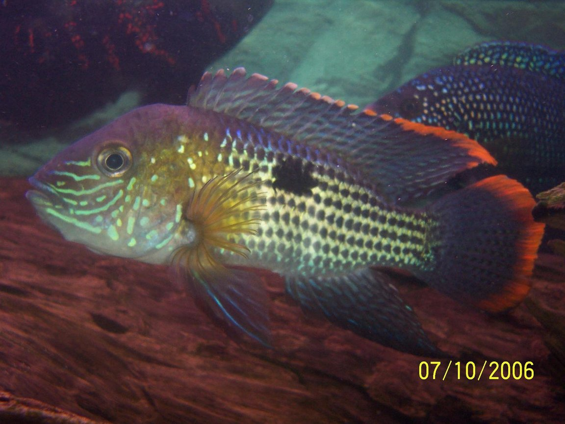 freshwater fish - aequidens rivulatus - green terror stocking in 125 gallons tank - this is my green terror