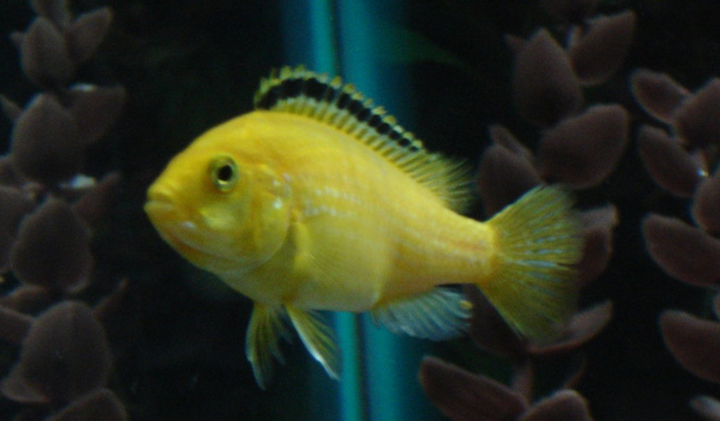 freshwater fish - labidochromis caeruleus - electric yellow cichlid stocking in 55 gallons tank - Electric Yellow Lab