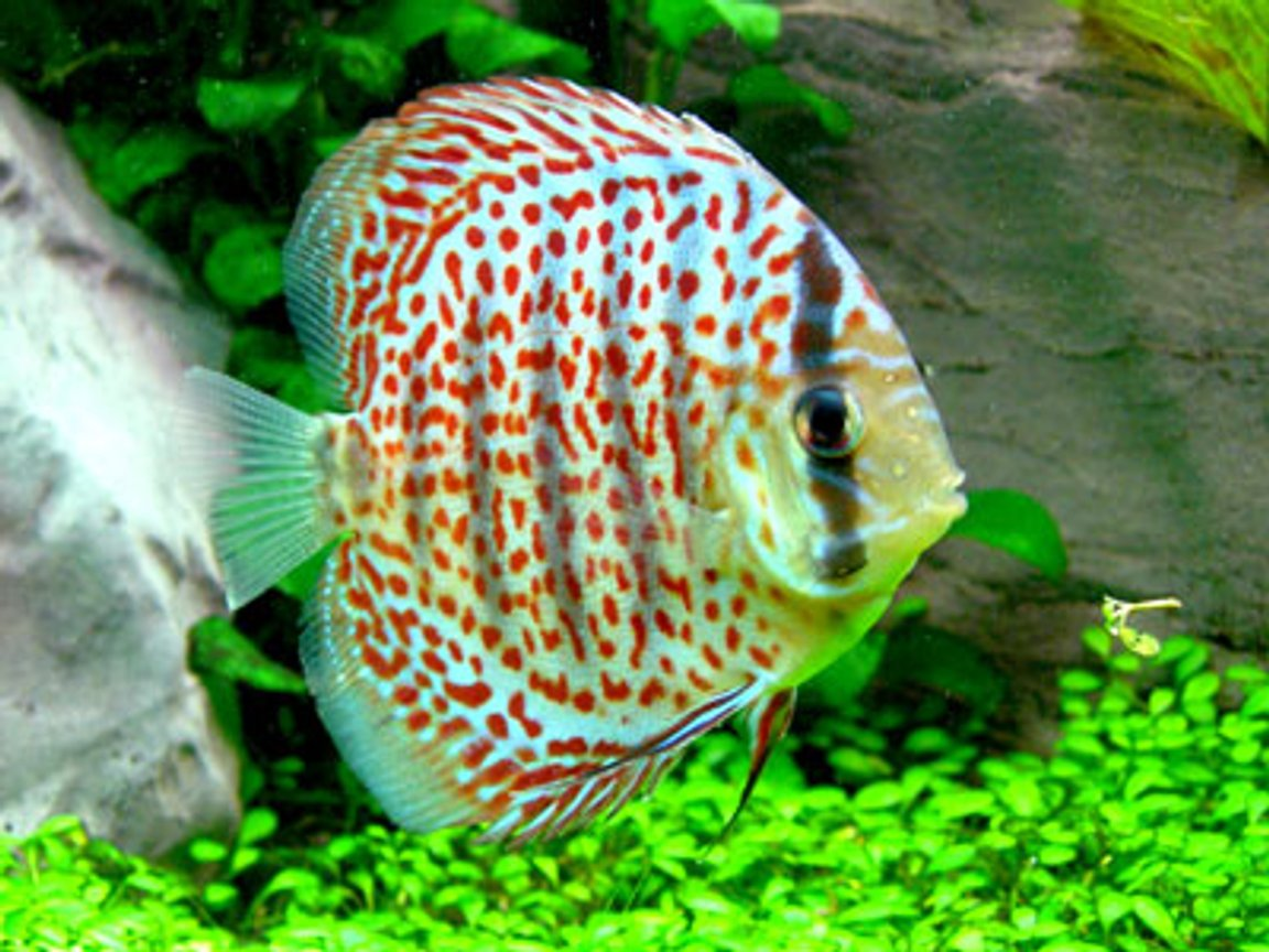 freshwater fish - symphysodon spp. - snakeskin discus stocking in 46 gallons tank - Leopard Skin Discus - 2""