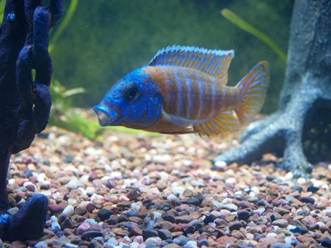 freshwater fish - aulonocara rubescens - ruby red peacock stocking in 140 gallons tank - Red Rubin cichlid