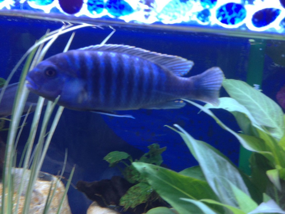 freshwater fish - pseudotropheus elongatus - elongate mbuna stocking in 58 gallons tank - What is he?