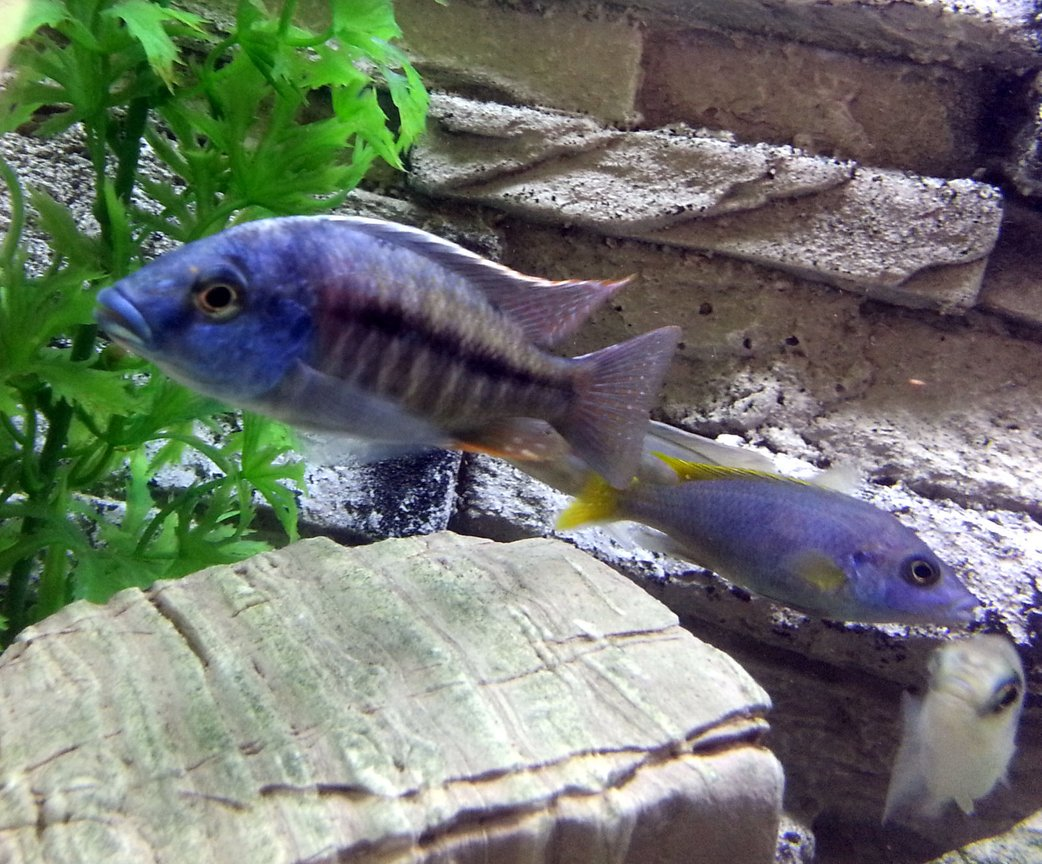 freshwater fish - pseudotropheus acei - acei cichlid stocking in 55 gallons tank - Red Empress Cichlid