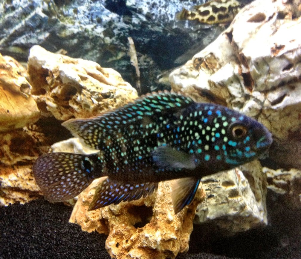 freshwater fish - nandopsis octofasciatum - jack dempsey stocking in 25 gallons tank - King Dempsey