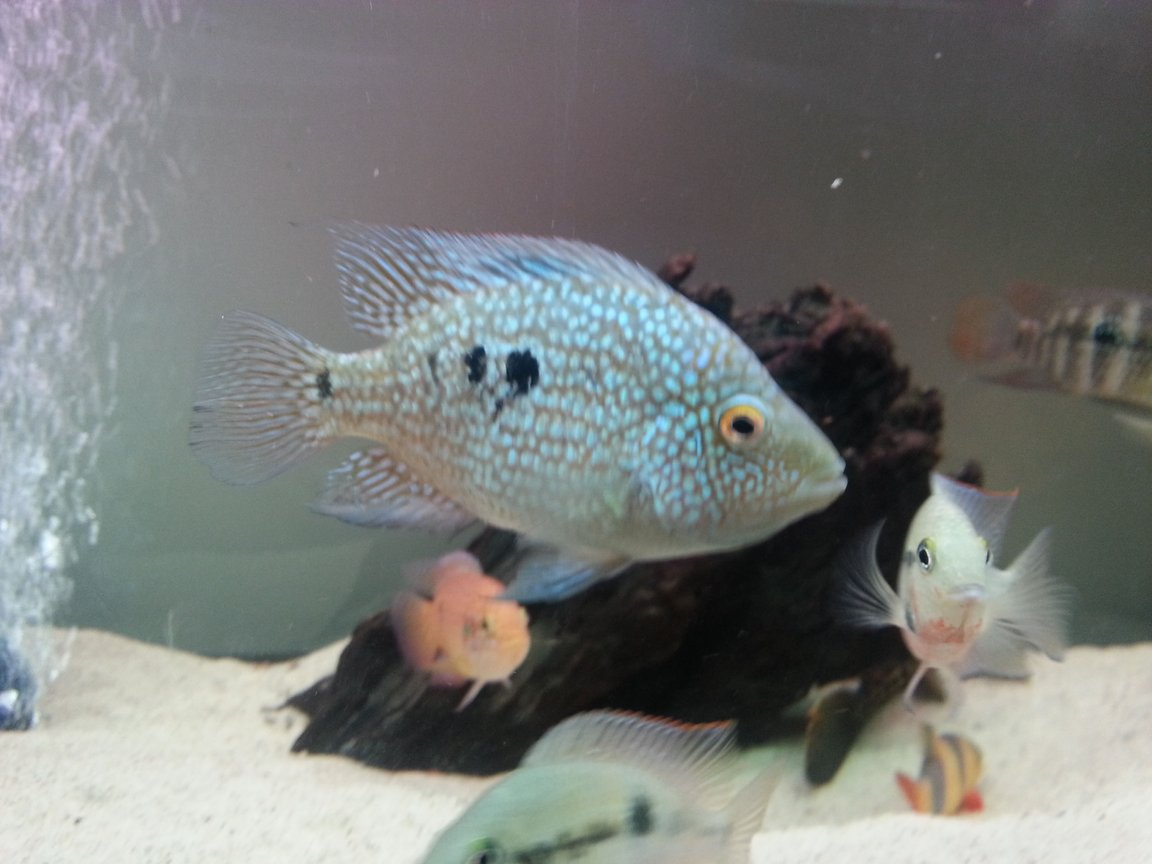 freshwater fish - herichthys carpinte - green texas cichlid stocking in 40 gallons tank - Texas ciclid