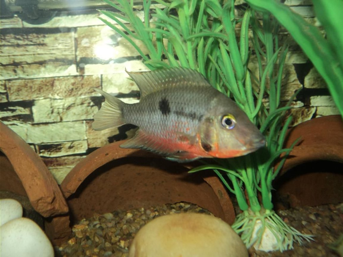freshwater fish - thorichthys meeki - firemouth cichlid stocking in 75 gallons tank - Firemouth