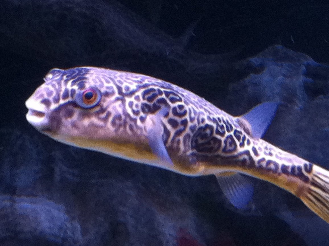 freshwater fish - tetraodon biocellatus - figure 8 puffer stocking in 110 gallons tank - None