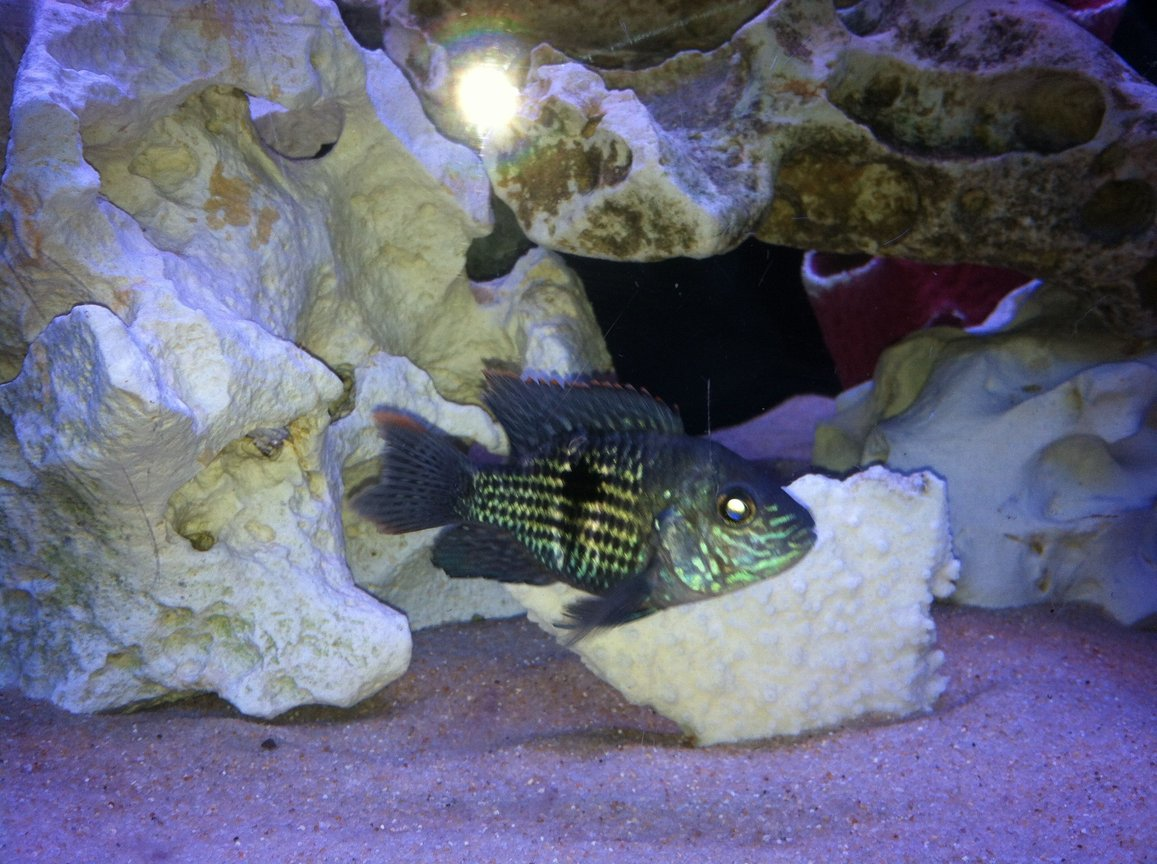 freshwater fish - herichthys cynoguttatus - texas cichlid stocking in 110 gallons tank - None