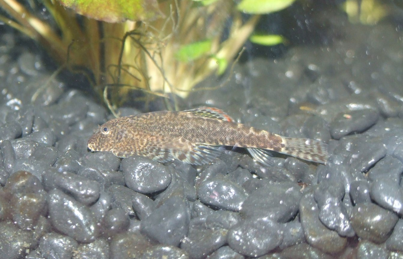 freshwater fish - pseudogastromyzon cheni - chinese hillstream loach stocking in 50 gallons tank - Hillstream Loach (Pseudogastromyzon)