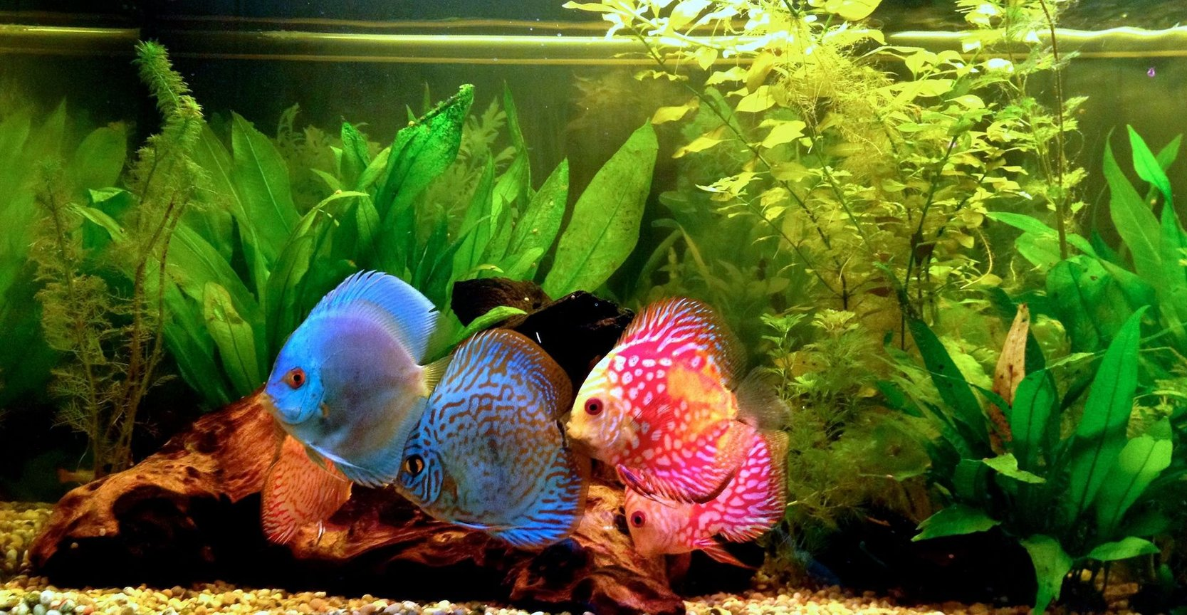 freshwater fish - symphysodon sp. - blue diamond discus stocking in 40 gallons tank - discus