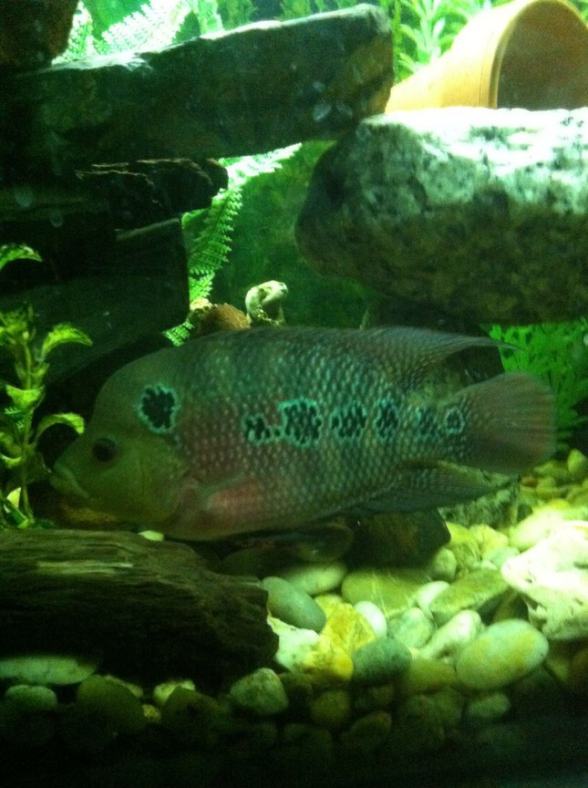 freshwater fish - cichlasoma sp. - flower horn cichlid stocking in 90 gallons tank - Flowerhorn