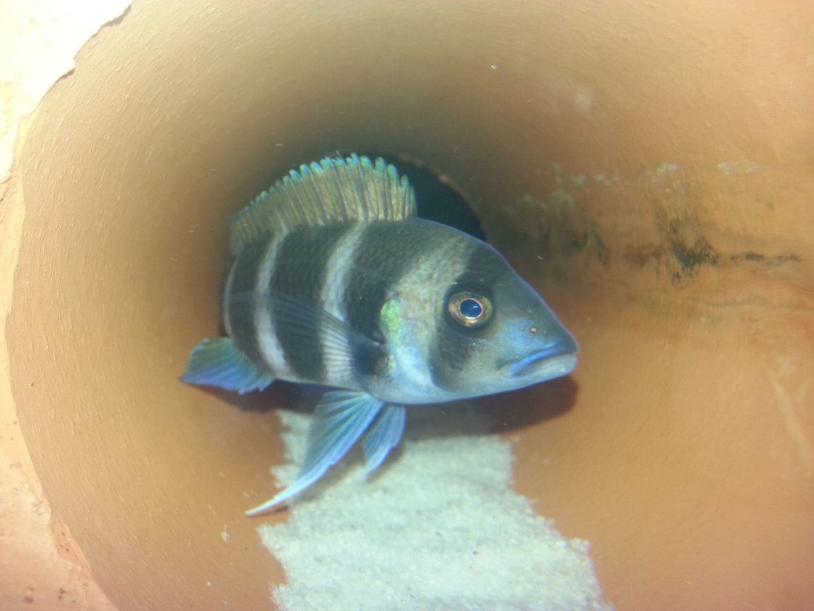 freshwater fish - cyphotilapia frontosa - frontosa cichlid stocking in 75 gallons tank - Frontosa slowly getting bigger