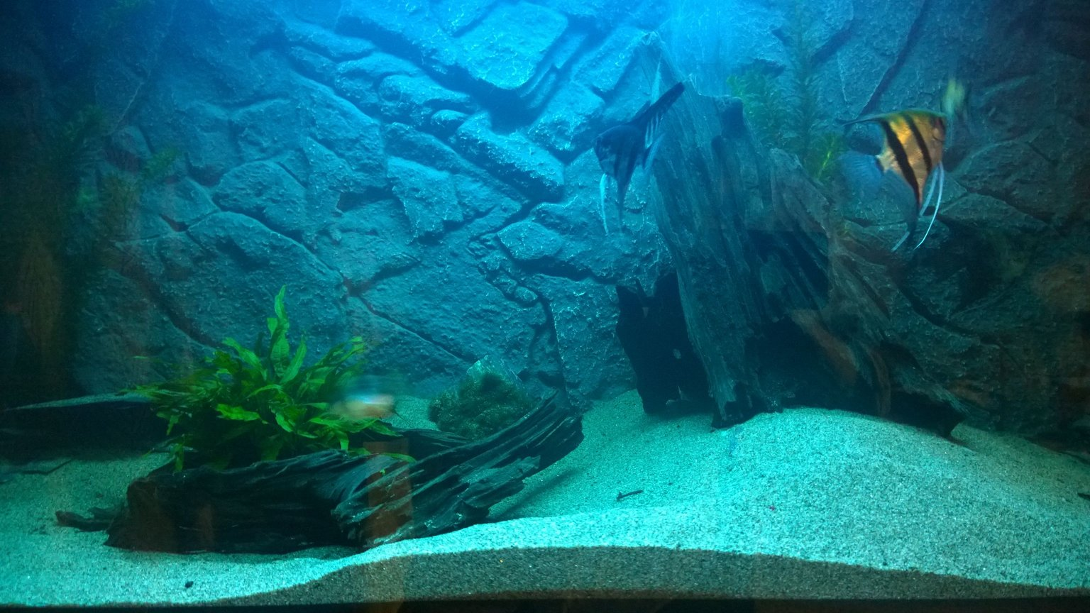 freshwater fish - pterophyllum scalare - angelfish stocking in 100 gallons tank - main tank