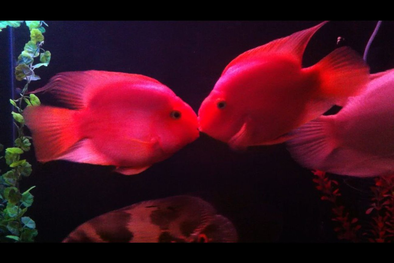 freshwater fish - heros severus x amphilophus citrinellum - blood parrot stocking in 140 gallons tank - My parrot cichlid