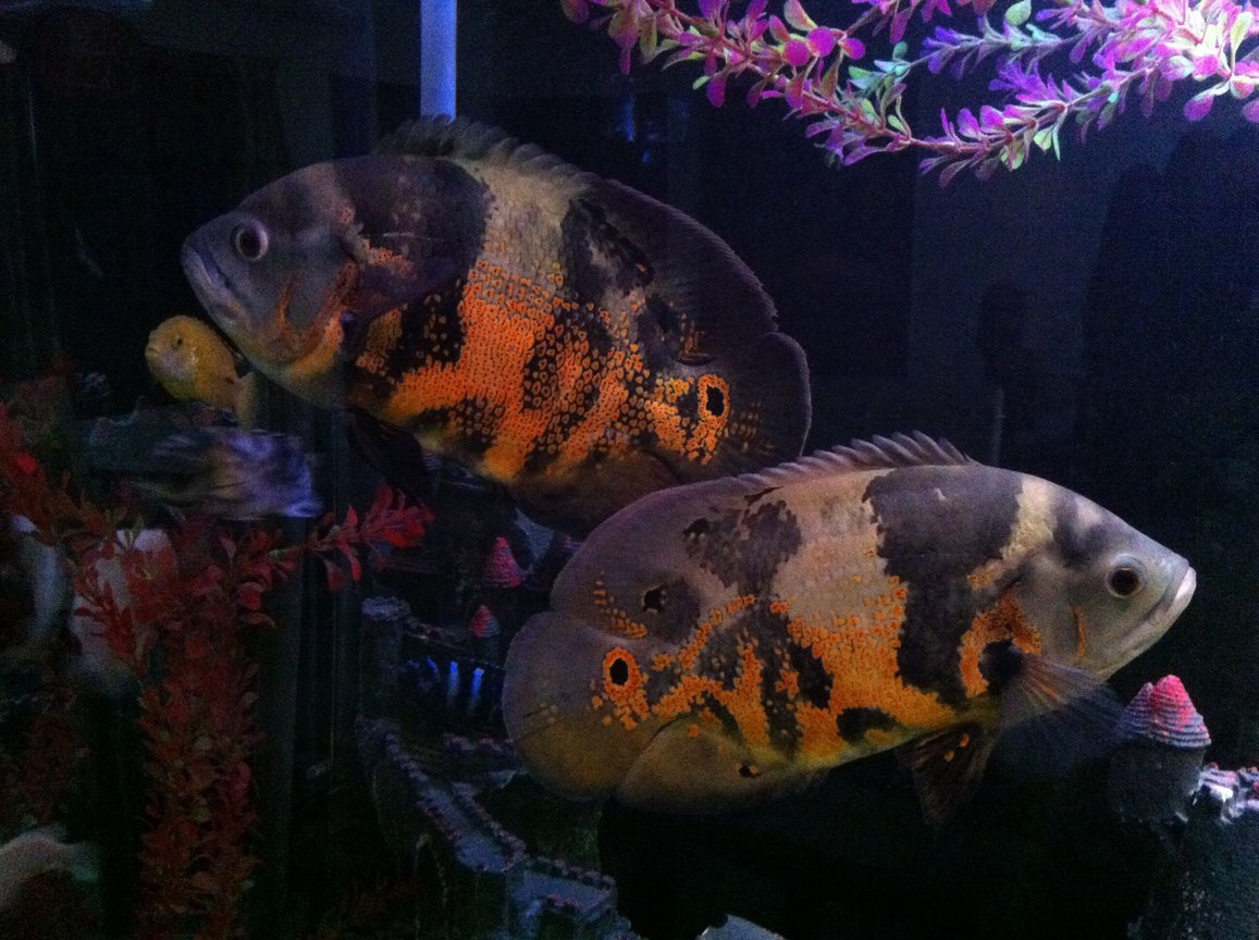 freshwater fish - astronotus ocellatus - tiger oscar stocking in 140 gallons tank - My oscars.