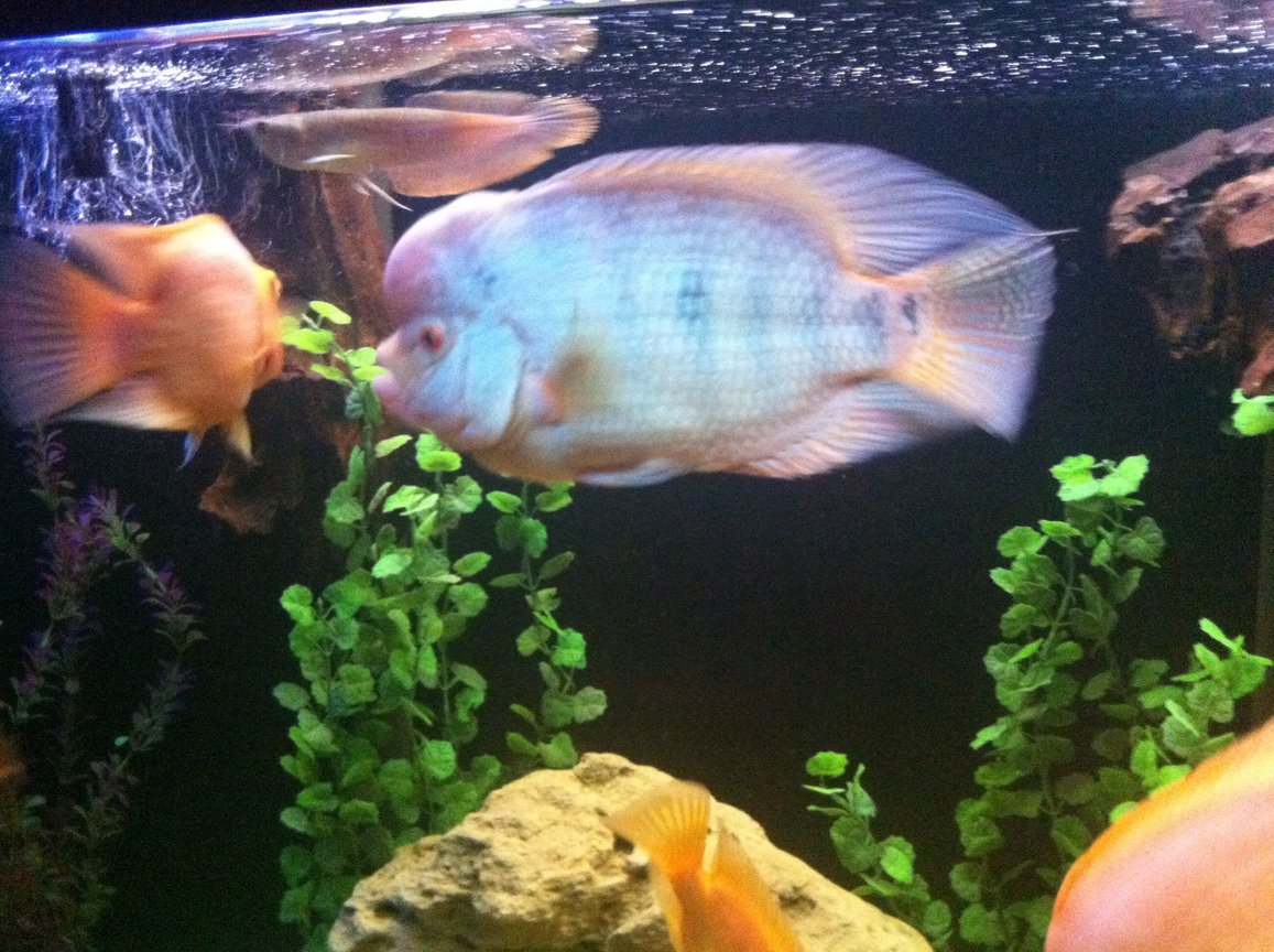 freshwater fish - cichlasoma sp. - flower horn cichlid stocking in 140 gallons tank - My flower horn...