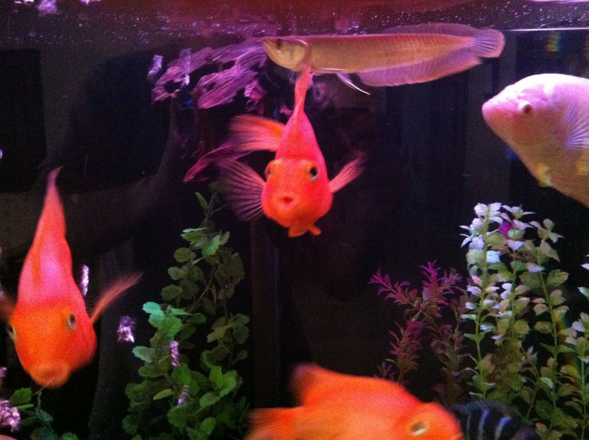 freshwater fish - heros severus x amphilophus citrinellum - blood parrot stocking in 140 gallons tank - Parrot cichlids & Arawona...