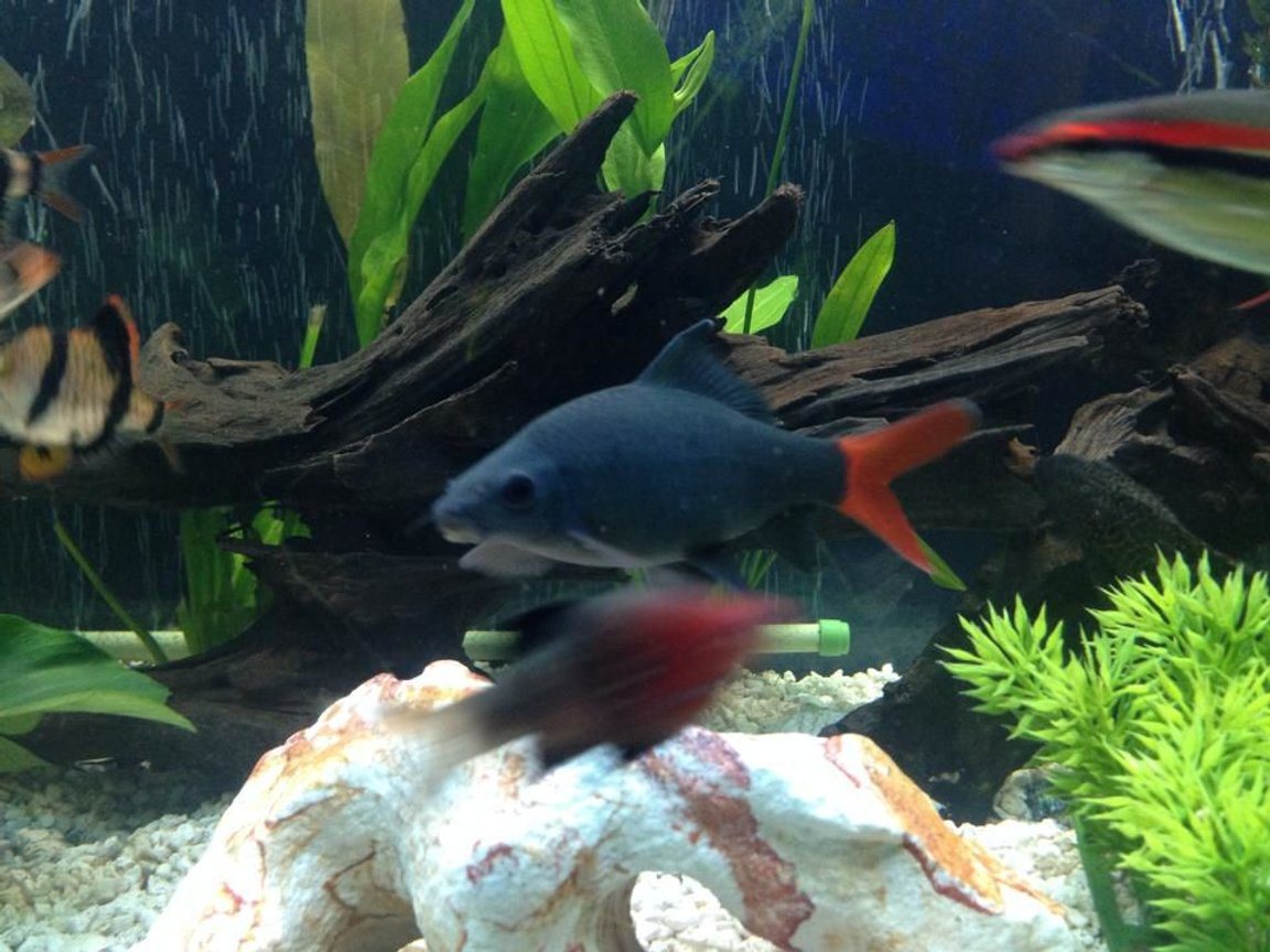 freshwater fish - epalzeorhynchos bicolor - redtail shark stocking in 125 gallons tank - 6 inch redtail shark