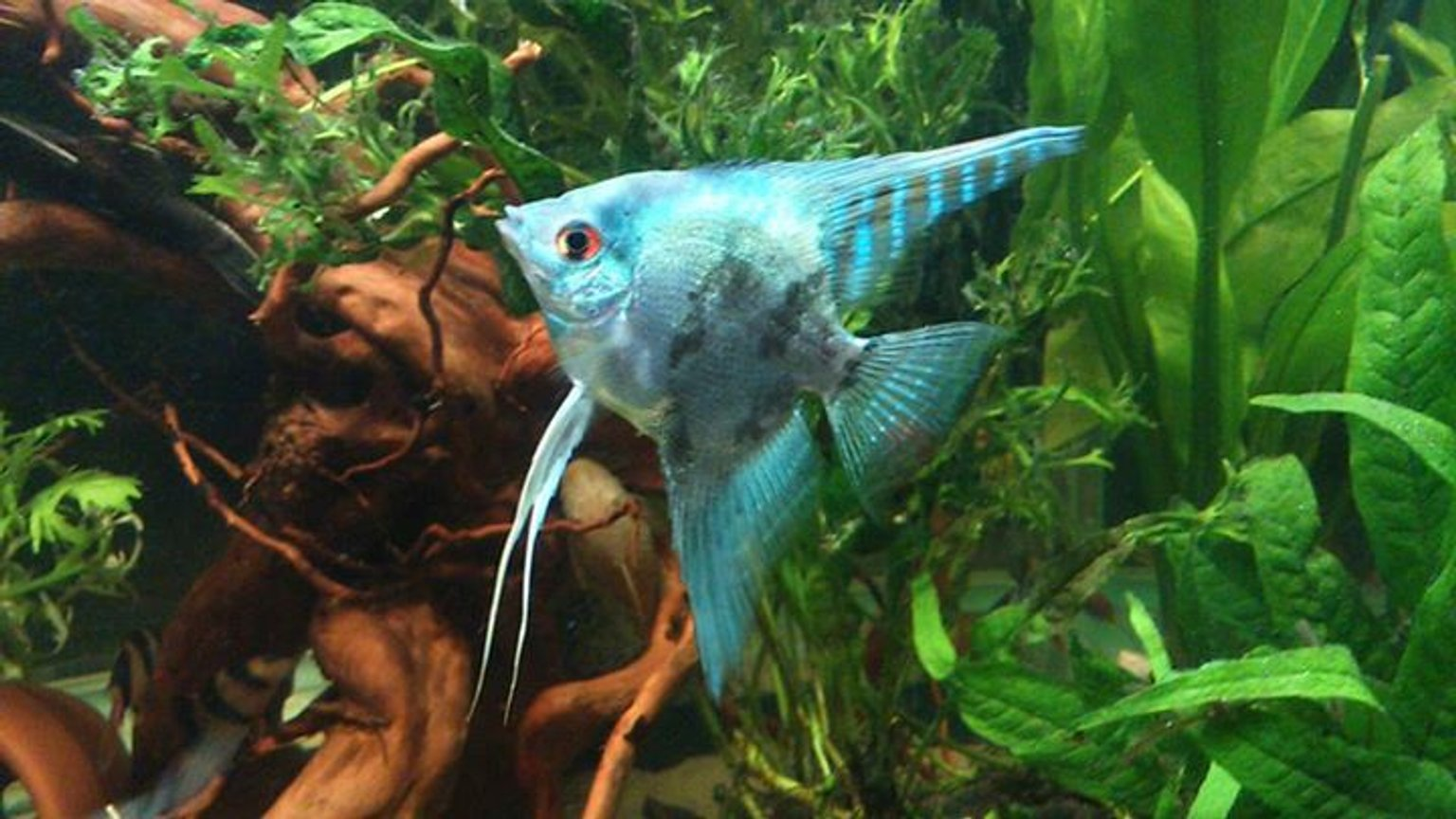 freshwater fish - pterophyllum sp. - blue angelfish stocking in 50 gallons tank - on of my smoky blue angels