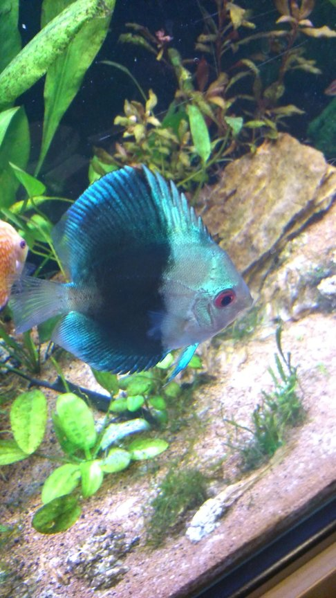 freshwater fish - symphysodon sp. - blue diamond discus stocking in 130 gallons tank - Left Black and blue.