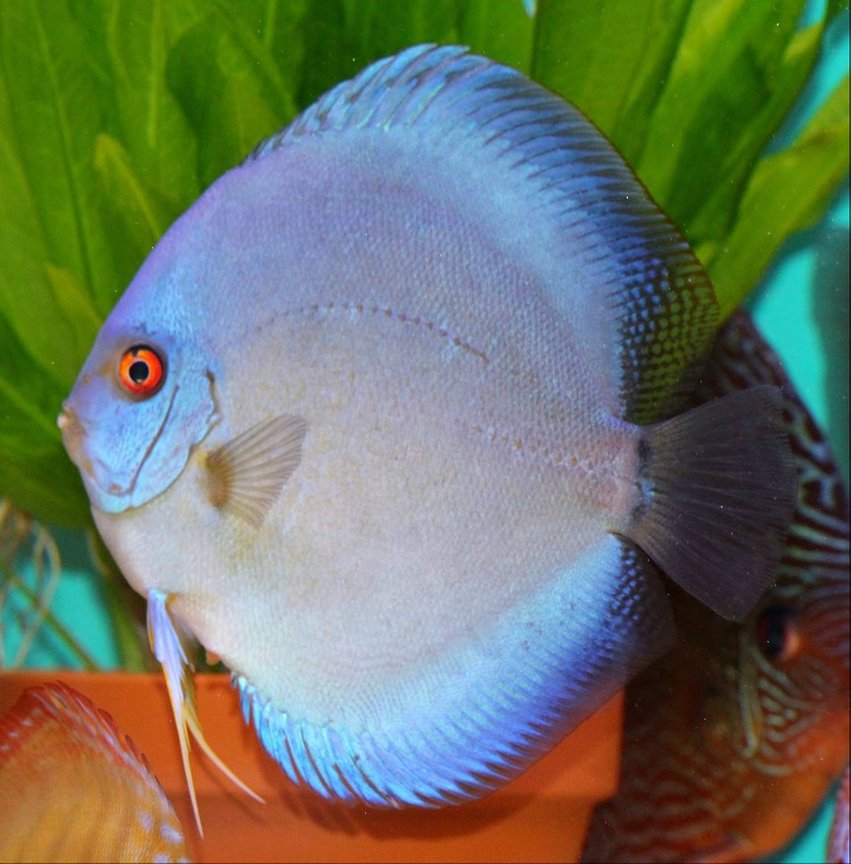 freshwater fish - symphysodon sp. - blue diamond discus stocking in 100 gallons tank - Ricky Lim Reflection D